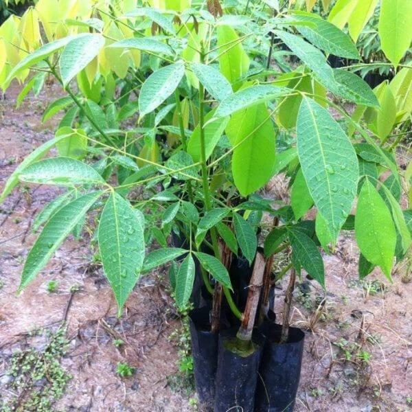 ต้นกล้ายาง(บั้ดดิ้ง) RRIM 3001