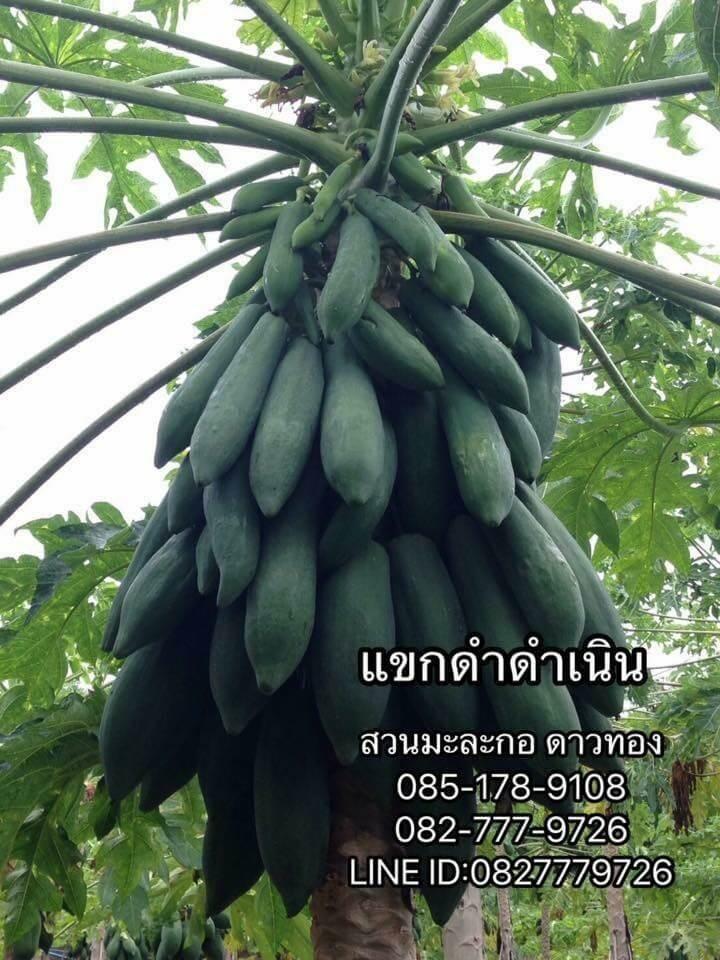 ขายเมล็ดพันธุ์มะละกอ ปทุมธานี