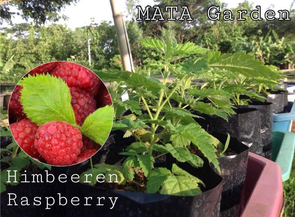 Himbeeren Raspberry