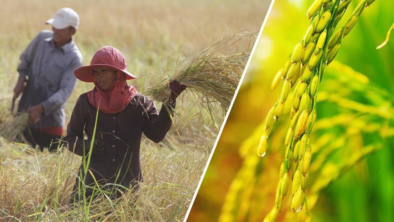 ปีทองข้าวหอมมะลิไทย แพงสุดในรอบ 5 ปี ชาวนาไทย ยิ้มไม่หุบ
